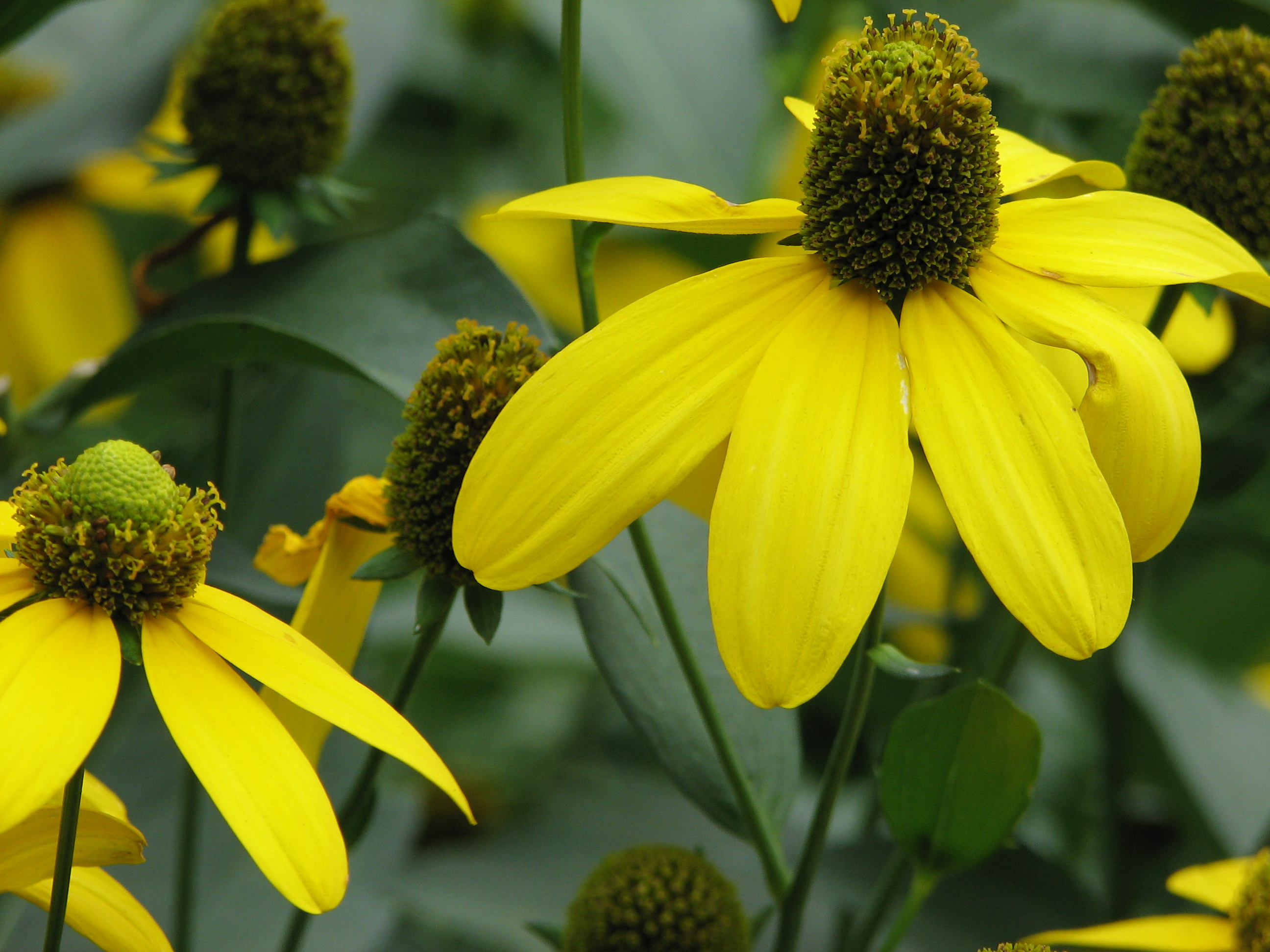 Rudbeckia laciniata in bloom