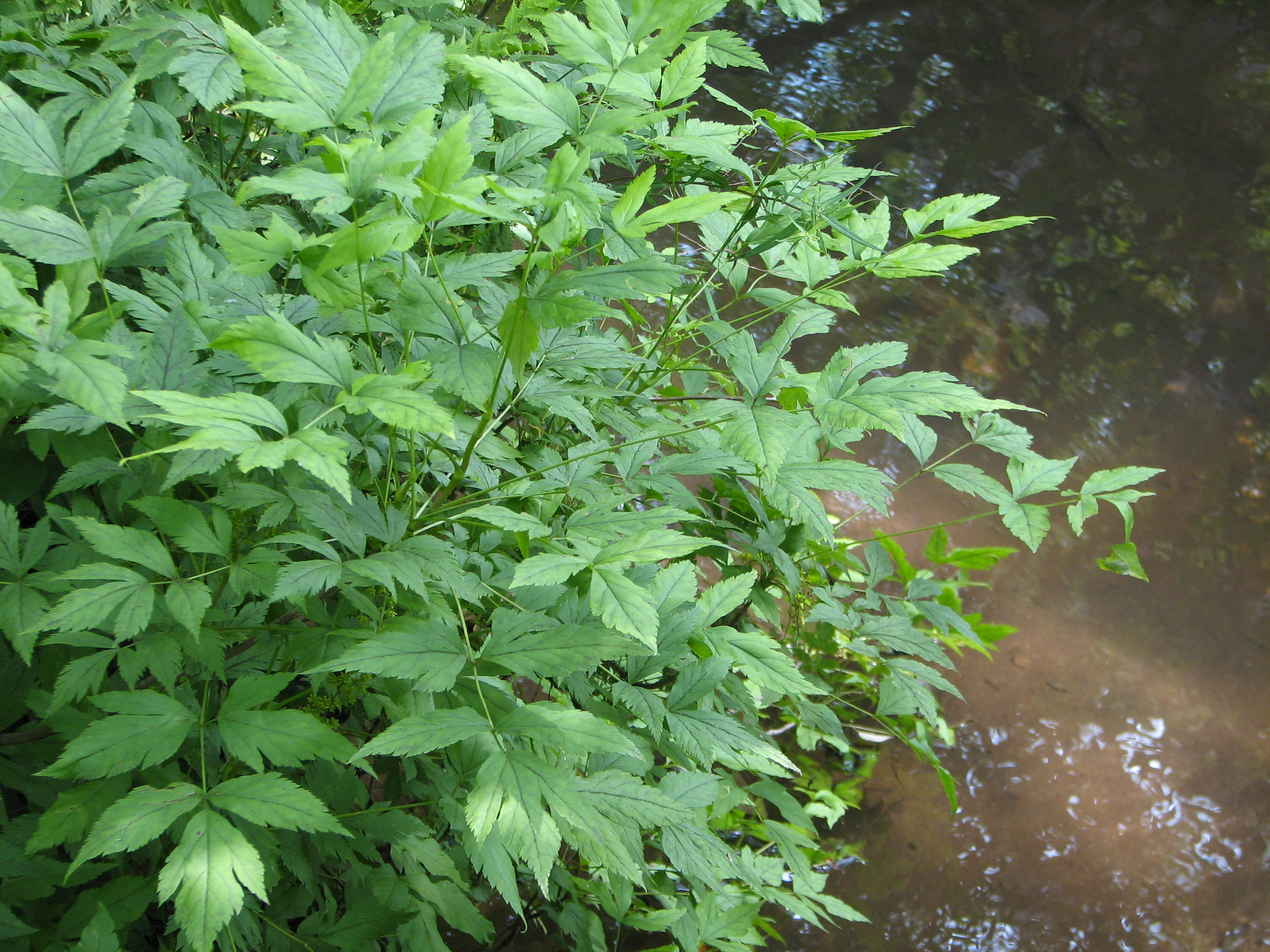 Yellowroot growing next to a stream