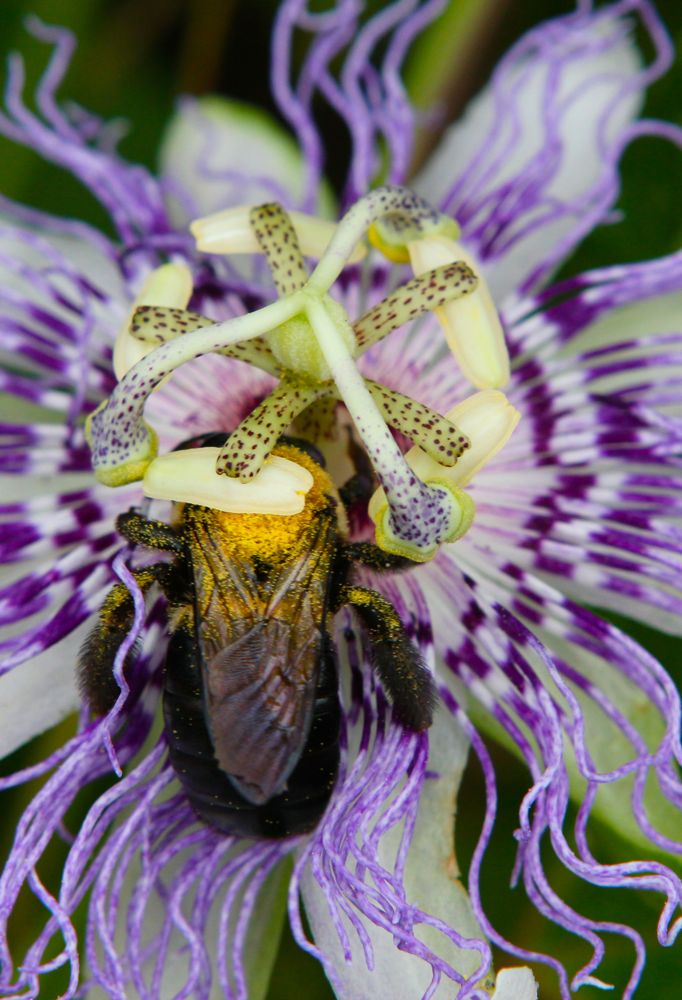 Passionflowers Medicinal Edible Uses Chestnut School Of Herbal