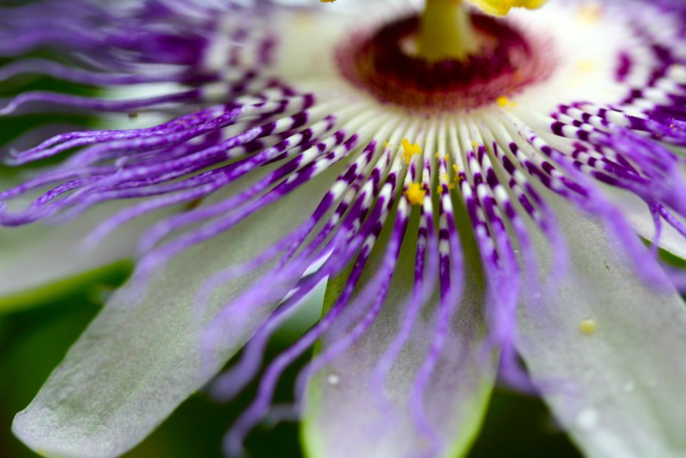 Passionflower S Medicinal Edible Uses Chestnut School