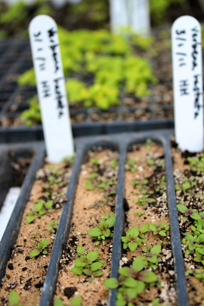 Germinating blue vervain seedlings. Because of the smaller size of the cells in the tray, the seedlings will need to be pricked out and transplanted as soon as they develop true leaves.
