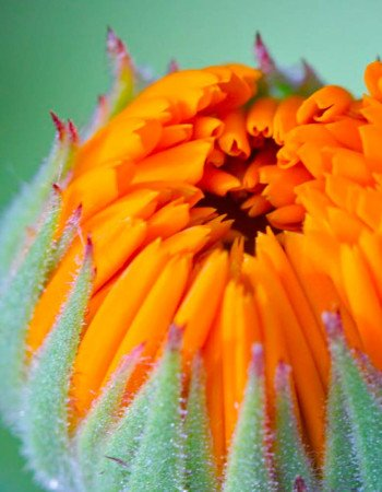 Calendula officinalis flower