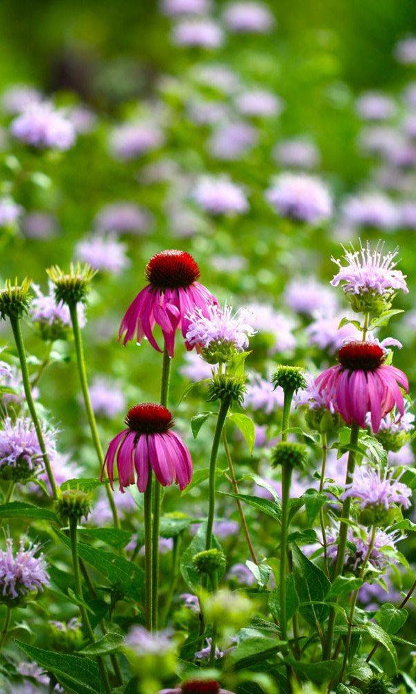 Echinacea growing with wild bergamot