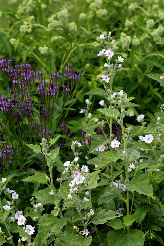 9 Tips for Planning the Herb Garden of Your Dreams - wetland medicinals (mashmallow, blue vervain and boneset)