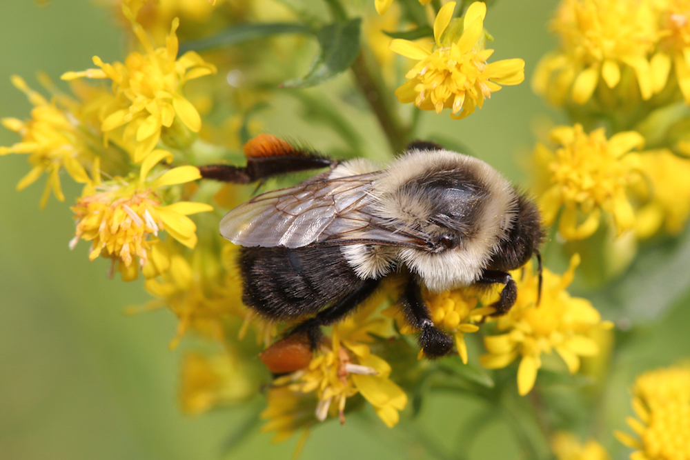 A bee pollinating goldenrod—note the orange pollen sacs