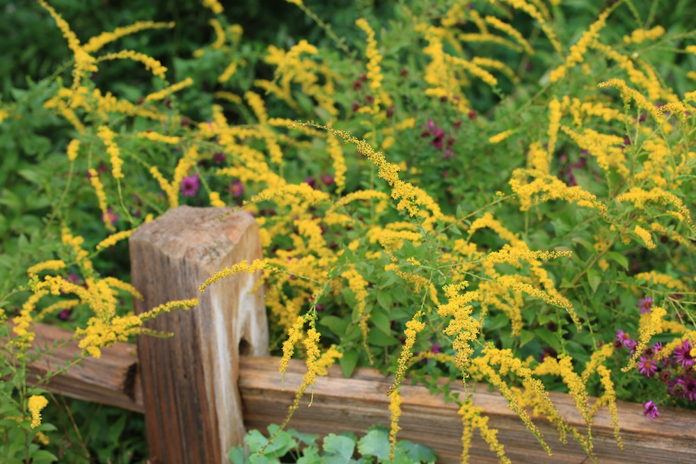 Goldenrod (Solidago sp.) adds a splash of fall color to the garden and to public spaces in the ABQ BioPark in Albuquerque, New Mexico