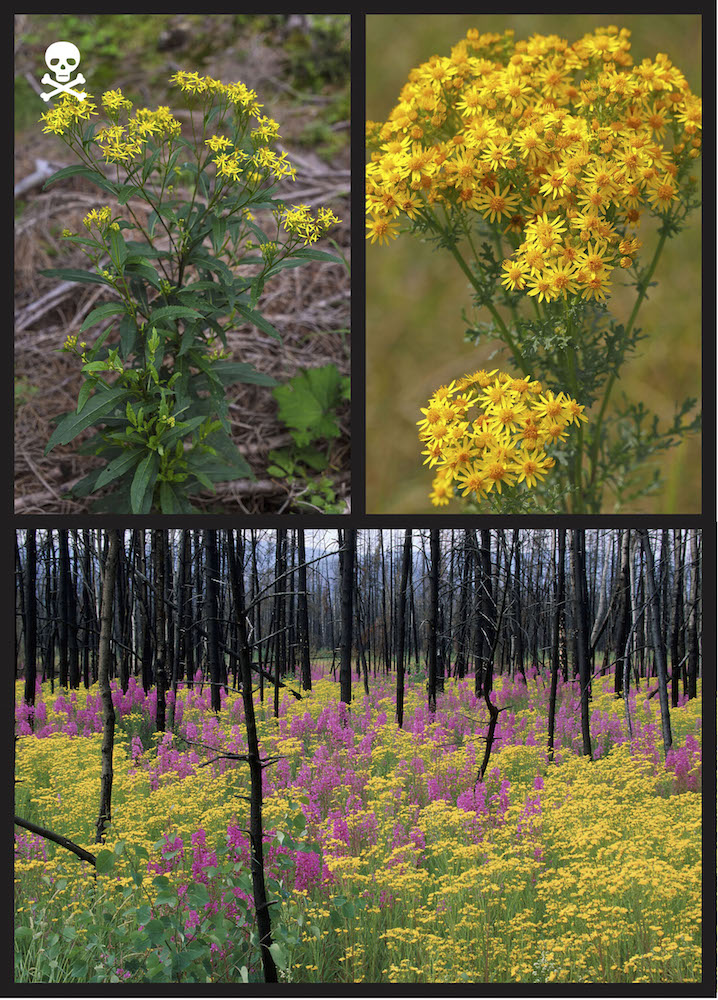 The tribe comprised of ragwort, groundsel, liferoot, and staggerweed (Senecio spp. and other related genera) contains many DEADLY TOXIC species. Clockwise from top left: Ragwort (Senecio ovatus) in Bavaria, Germany, photo courtesy of blickwinkel; Ragwort, also known as staggerwort or blooming jacobea (Jacobaea vulgaris, formerly Senecio), photo courtesy of Justus de Cuveland/imageBROKER; Golden ragwort (Senecio sp.) and fireweed (Epilobium angustifolium) growing in a recently burned forest in Yukon, Canada, photo courtesy of Dieter Hopf/imageBROKER