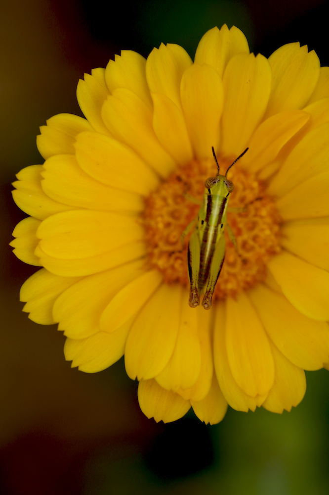 Grasshopper on a calendula bloom