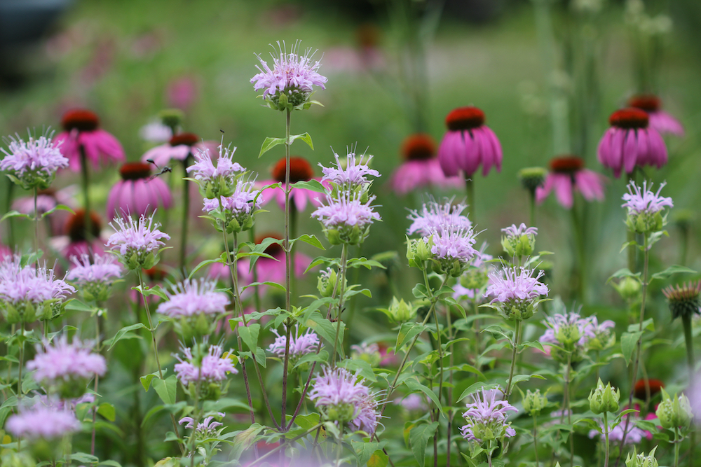 Monarda fistulosa growing with Echinacea purpurea