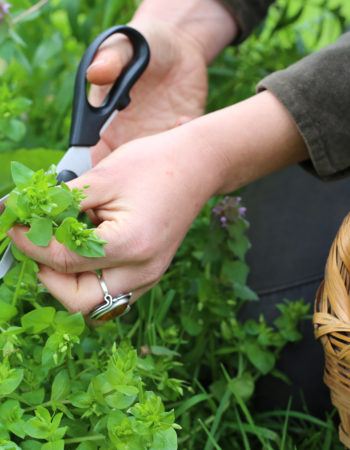Harvesting chickweed with the haircut method