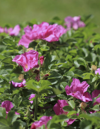 Ramanas rose (Rosa rugosa) comes in white, pink, or hot pink