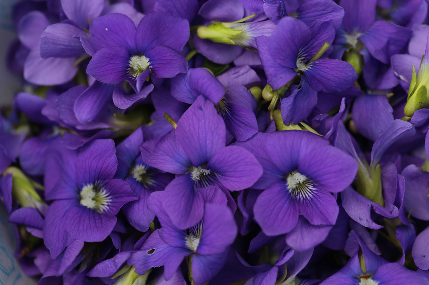 Violets Edible And Medicinal Uses Chestnut School Of Herbal Medicine