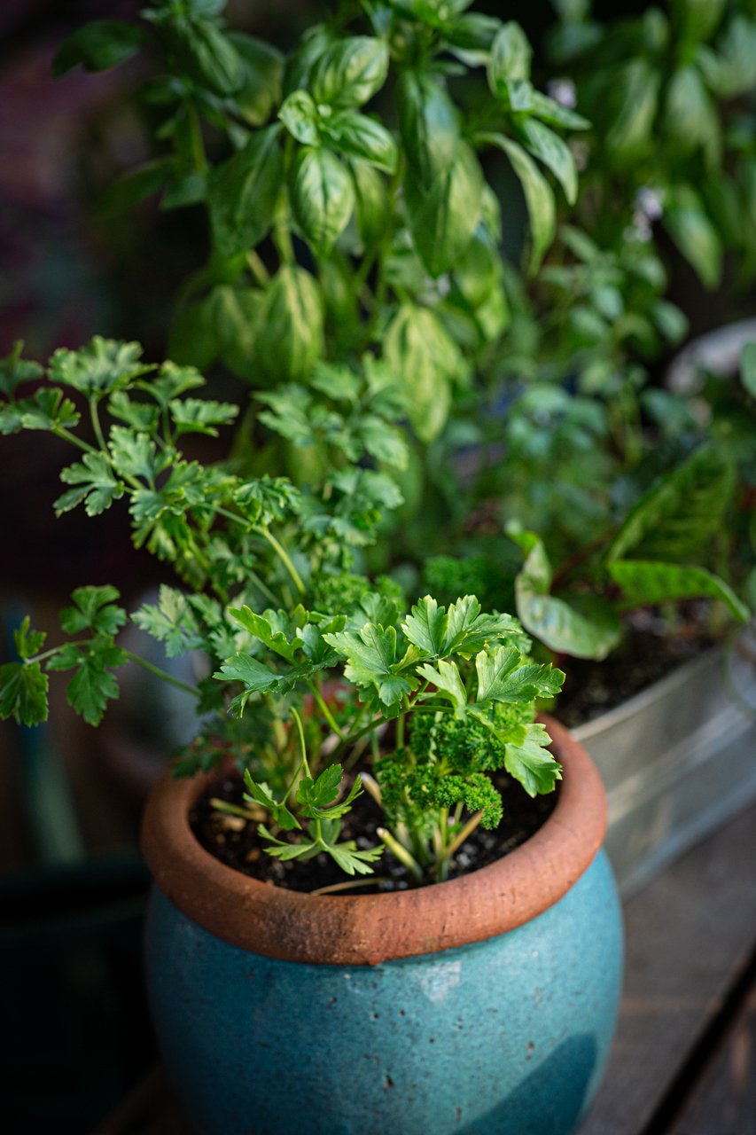 Curly and Italian (flat-leafed) parsley chumming it up in a pot