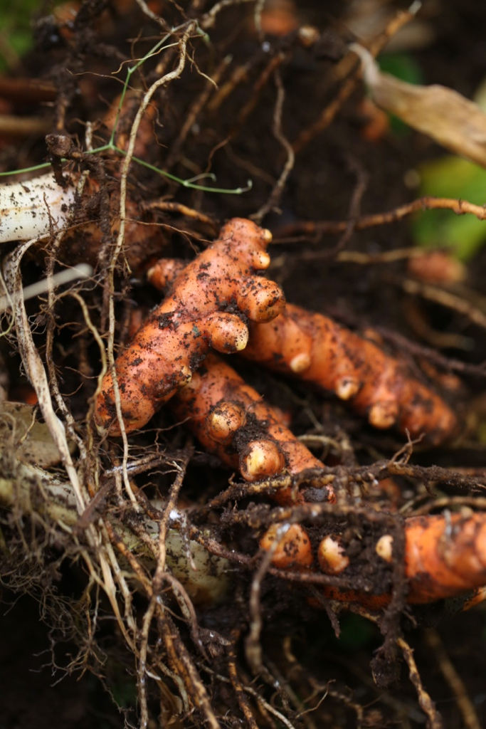 Freshly harvested turmeric