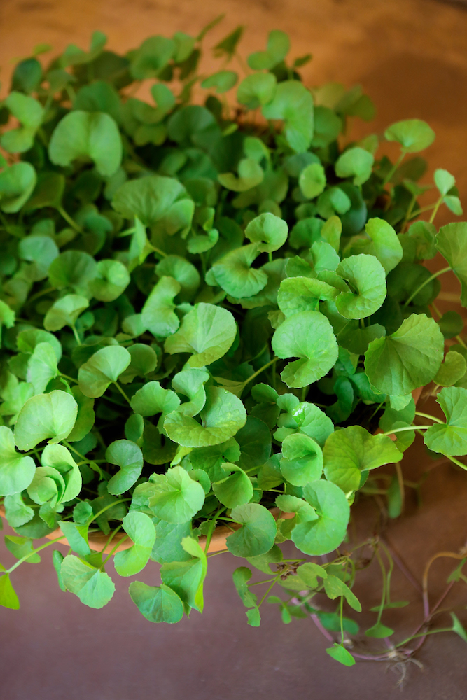 Gotu kola growing in a broad, shallow pot