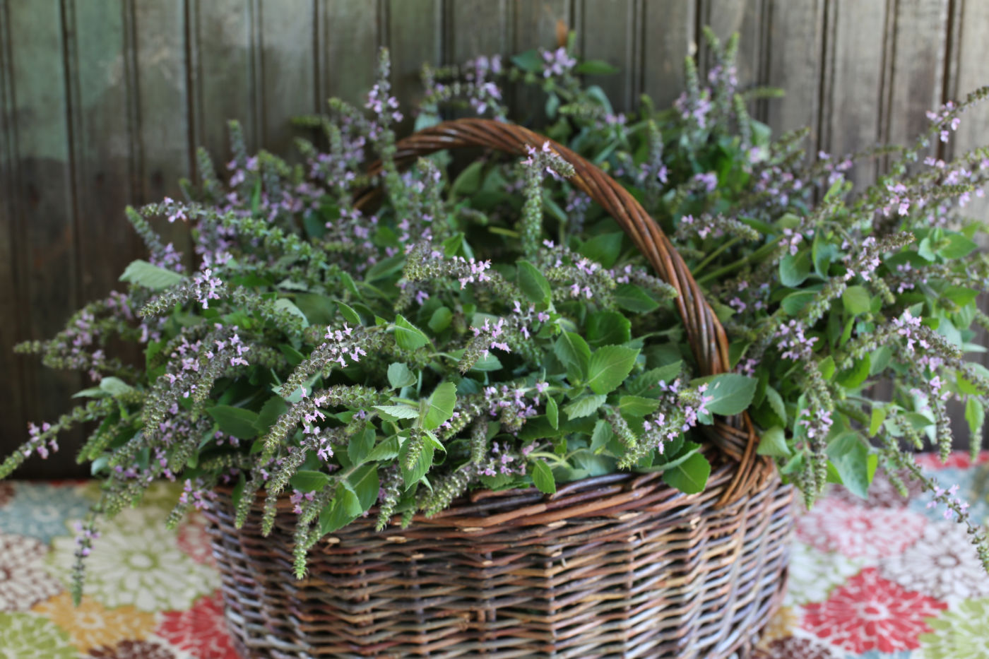 Holy Basil or Tulsi (Ocimum tenuiflorum)
