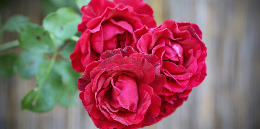 Rose 'Don Juan' is an attractive vining rose