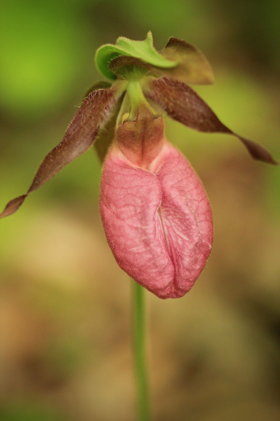 Pink lady's slipper (Cypripedium acaule) photo
