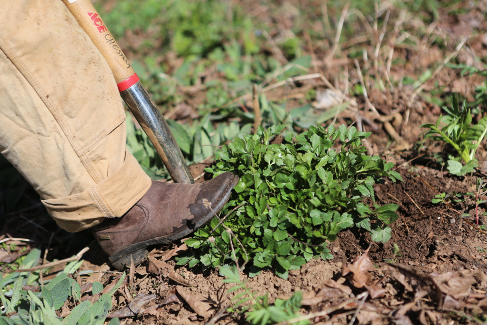 Digging up sochan (Rudbeckia laciniata) with a digging fork; Move around the plant in a circle, prying the root back and forth