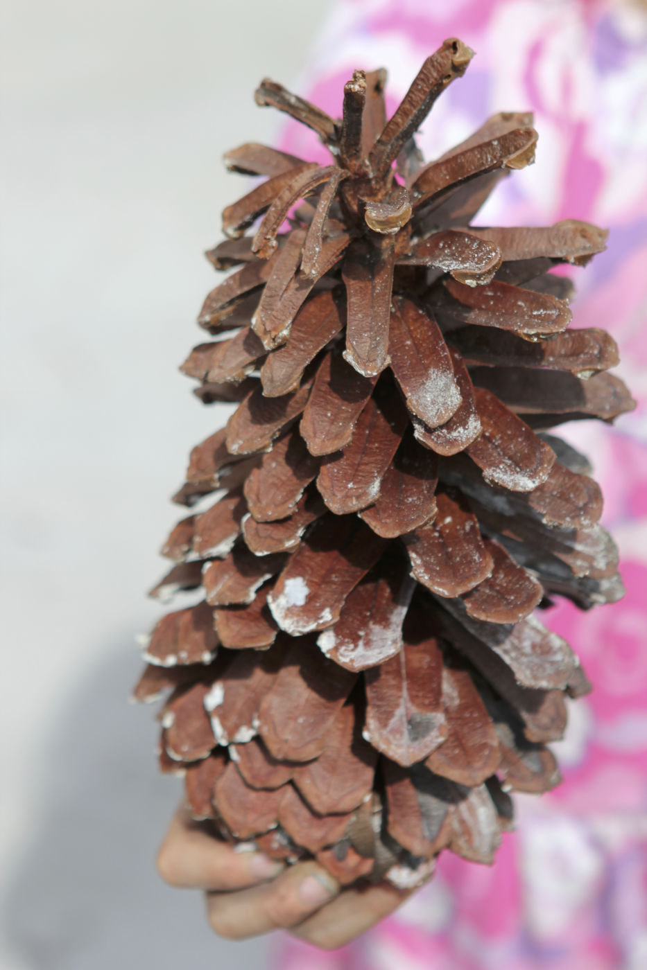 Longleaf pinecone