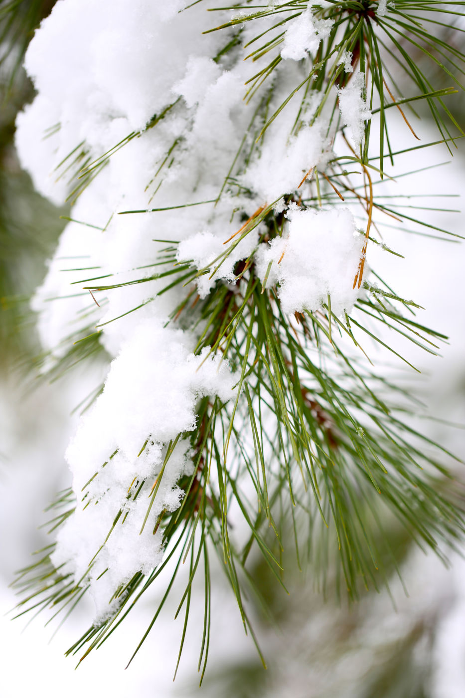 Snow-covered pine (Pinus sp.) needles