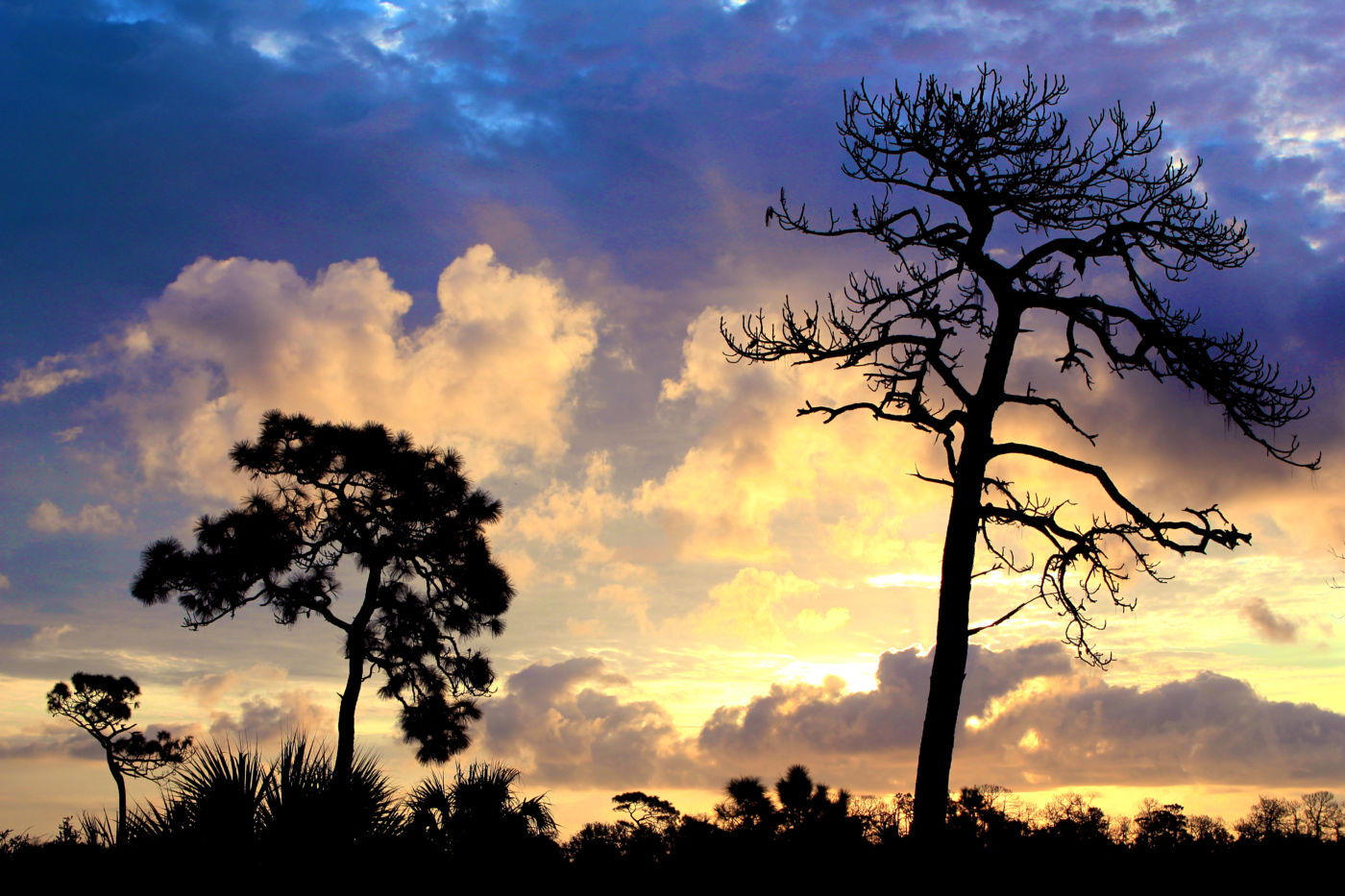 Silhouette of pine tree at sunrise