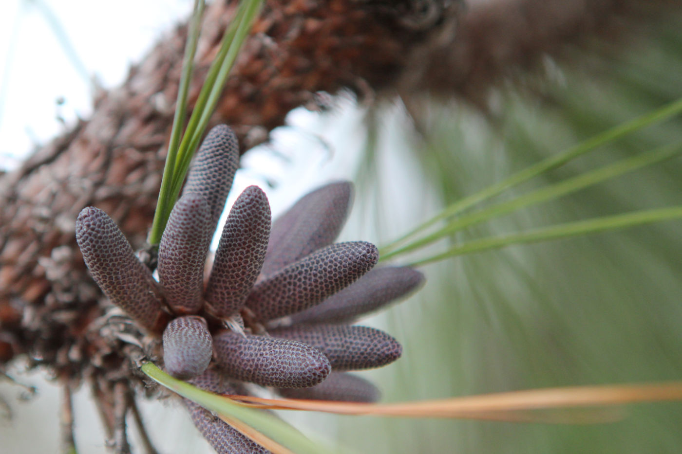 The male reproductive parts of longleaf pine